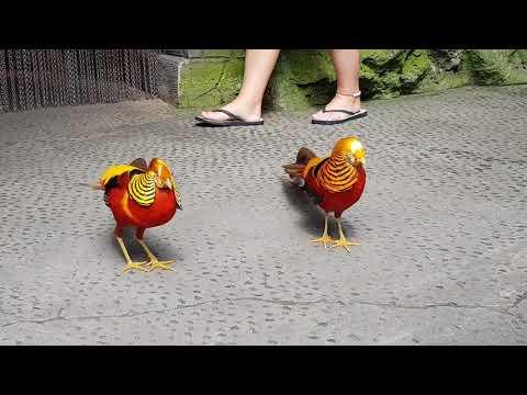Golden pheasants fight