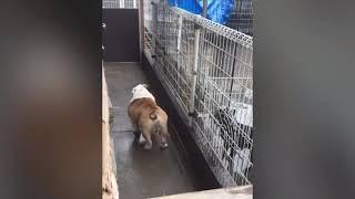 まゆ毛犬まろ在籍!EASTJAPANKOYAMA犬舎/GRAN BLUE犬舎/TEL048-625-9198...