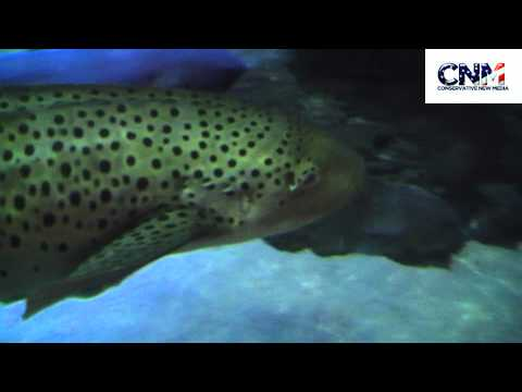 Leopard Shark in 1080P HD !!!