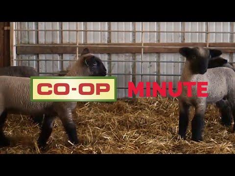 Co-op Minute: Winter Lambing