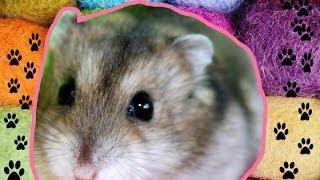 видео как ухаживать за хомяком