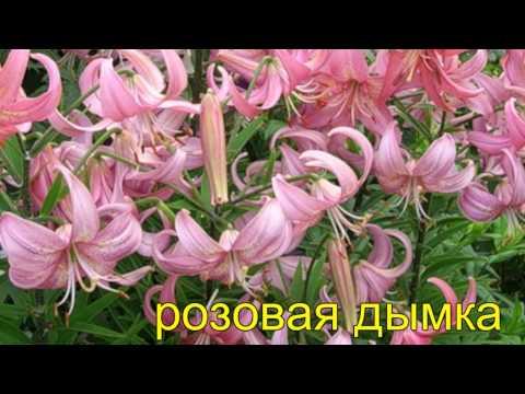 сорта лилий