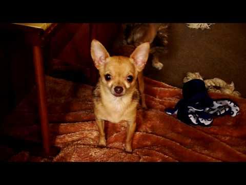 Chihuahua Paino