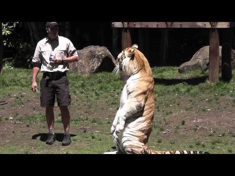 FULL Dreamworld Tiger Island Show Gold Coast Australia