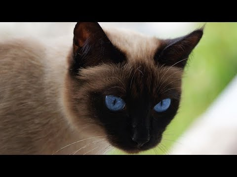 How to Decide if a Siamese Cat Is Right for You - Finding a Siamese Cat