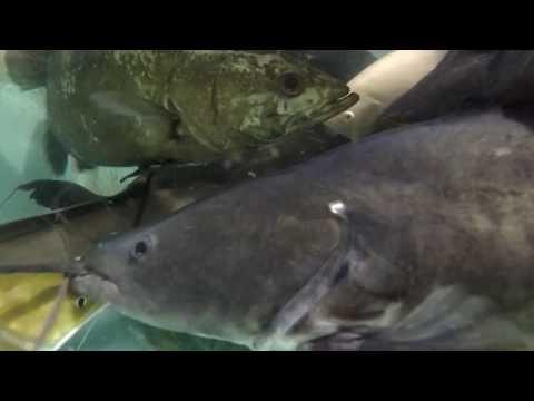 Asian Red Tail Catfish, Hemibagrus Wyckioides, 2.5', Clip From Longer Video