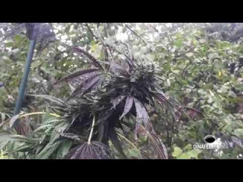 Slow motion water drops on marijuana flowers
