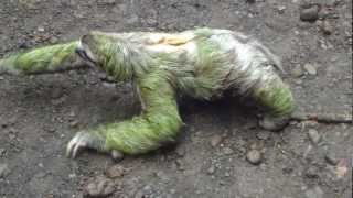 3 toed sloth walking
