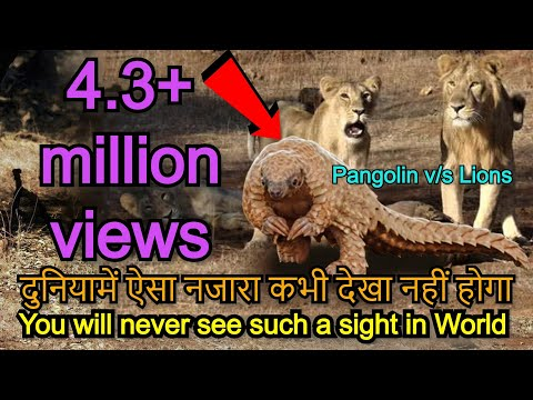Part 2/2 WATCH UNBELIEVABLE EXTRAORDINARY VIDEO 6 Asiatic lions attack on rare Pangolin. Gir forest