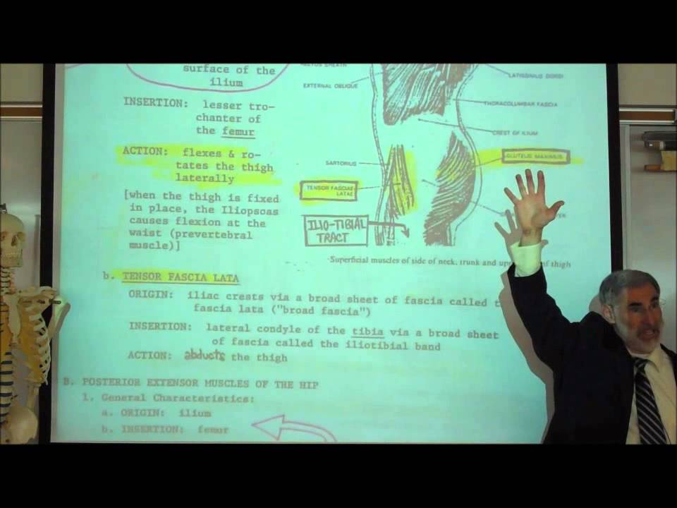 ANATOMY; MUSCLES OF THE PERINEUM & THIGH by Professor Fink - YouTube
