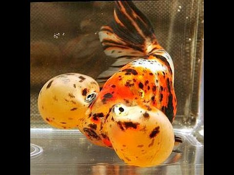 Everything About Bubble Eye GoldFish