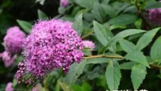 シモツケ(下野)の性質・剪定のポイント ~夏に咲く風情ある花が人気の花木~ 加須市・久喜市・幸手市の植木屋