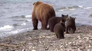Bärenmutter mit drei diesjährigen Jungen , beim Fischen , im Kurilensee  ©