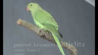 Ringneck  parrot making His Loud Call