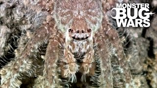 Grey Tree Runner Mantis Vs Lichen Huntsman Spider | MONSTER BUG WARS