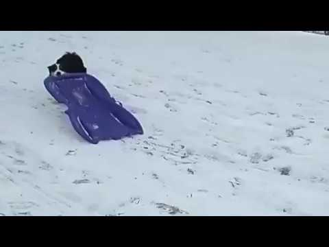 Dog Takes Itself Sledding
