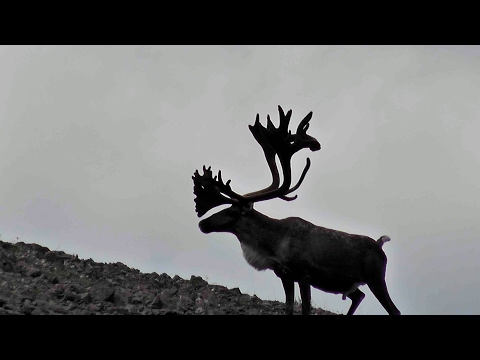 Mountain Caribou Hunt With Widrig Outfitters 2011