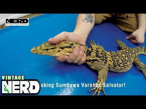 A fine looking Sumbawa Varanus Salvator!