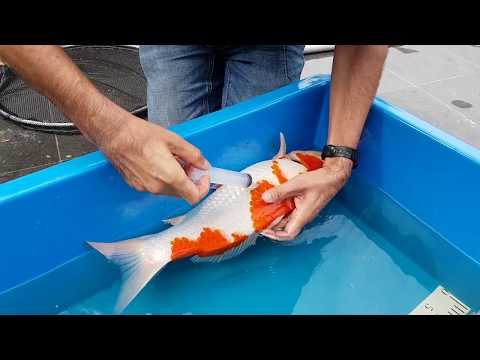 Swimbladder Problem In Koi