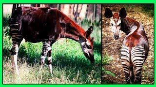 Окапи или Окапи Джонстона - Редкое Необычное Животное-Парнокопытное Животное Семейства Жирафовых.