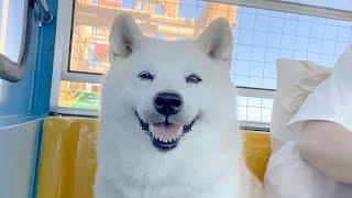 【宝物】大好きな柴犬と観覧車に乗りました。笑顔が最高でした。