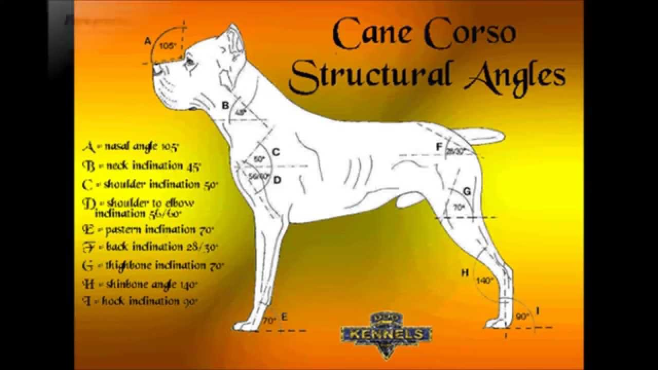 Cane Corso The Fci Standards Youtube