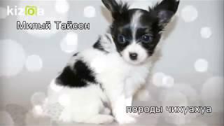 Собака породы Папильон  по кличке