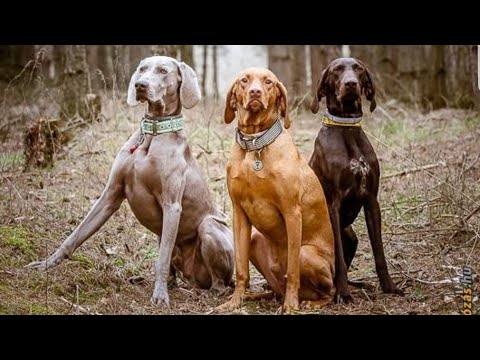 Weimaraner and Vizsla dogs