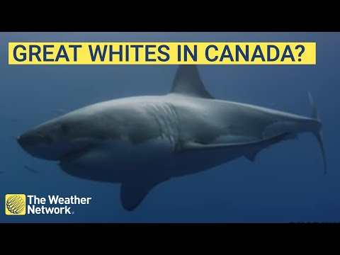The Largest Great White Actually Spotted In Canada