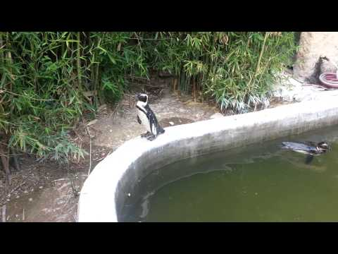 Funny and Cute African Penguins