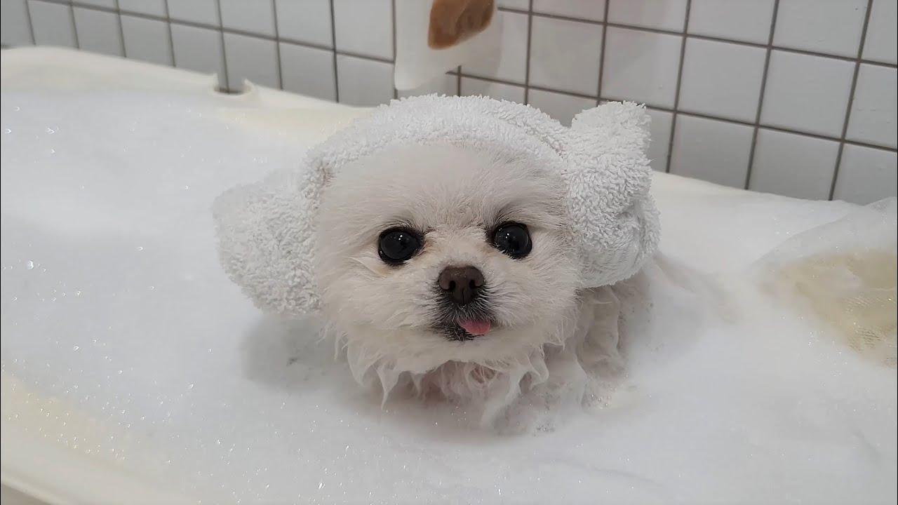 더러워! 하면 스스로 목욕하러 들어가는 강아지 (포메 자진 입수)