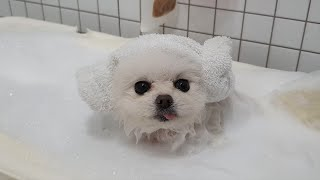 Puppy Goes to Take A Bath Upon Hearing She's TOO DIRTY! (Pomeranian's Voluntary Submerge)