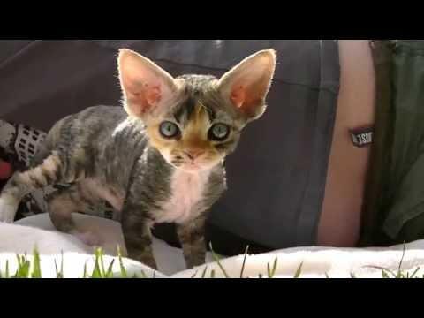 Devon Rex-Betty Boop Fedra rex*PL