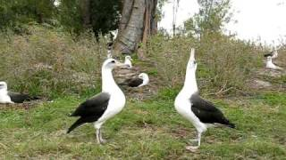 Dancing Laysan Albatross - Midway Atoll, December 2008