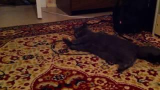 Британская кошка играет с мышкой. British cat playing with mouse