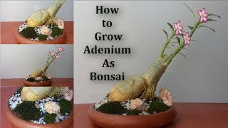 🌸How to Grow Adenium As Bonsai at Home Easy Way |  How To Grow Adenium or Desert Rose Bonsai |