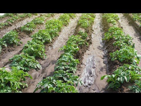 Урожай молодой картошки ривьера. обзор.