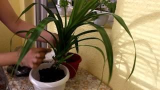 видео Панданус уход в домашних условиях полив пересадка и обрезка