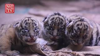 Births a boost for tigers in zoos