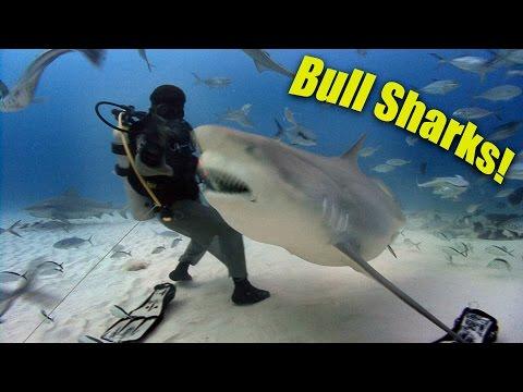 Bull Sharks! (HD) | JONATHAN BIRD'S BLUE WORLD