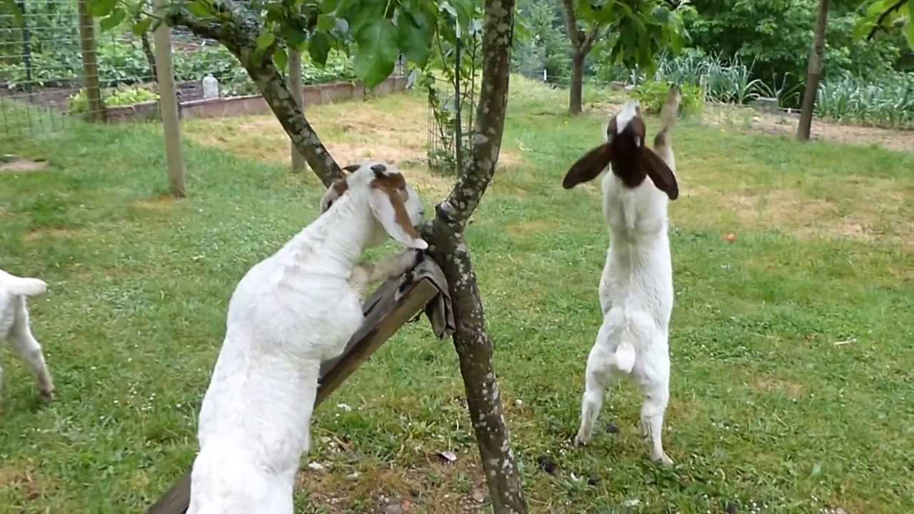 baby goats challenge to climb on the apple tree �����������