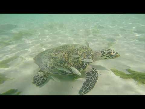 Go-Pro Hero4 Sea turtle in Barbados