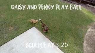 My new rescue dog Penny and my older dog Daisy playing ball together for the first time