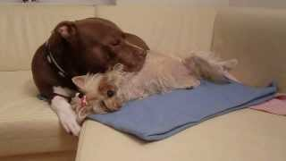 Golddust Yorkshire Terrier Scheila And Pit Bull Red Nose Chocolate Lenox
