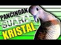 Perkutut Lokal Suara Kristal Gacor  Mp3 - Mp4 Download