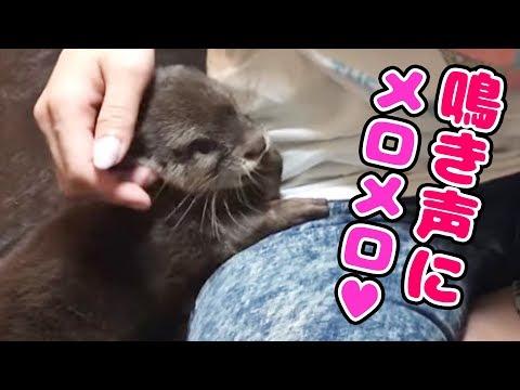 【コツメカワウソ】 超かわいい声!あざといくらい甘えまくる。【しゃもじ君】Baby of an otter showing cute cry