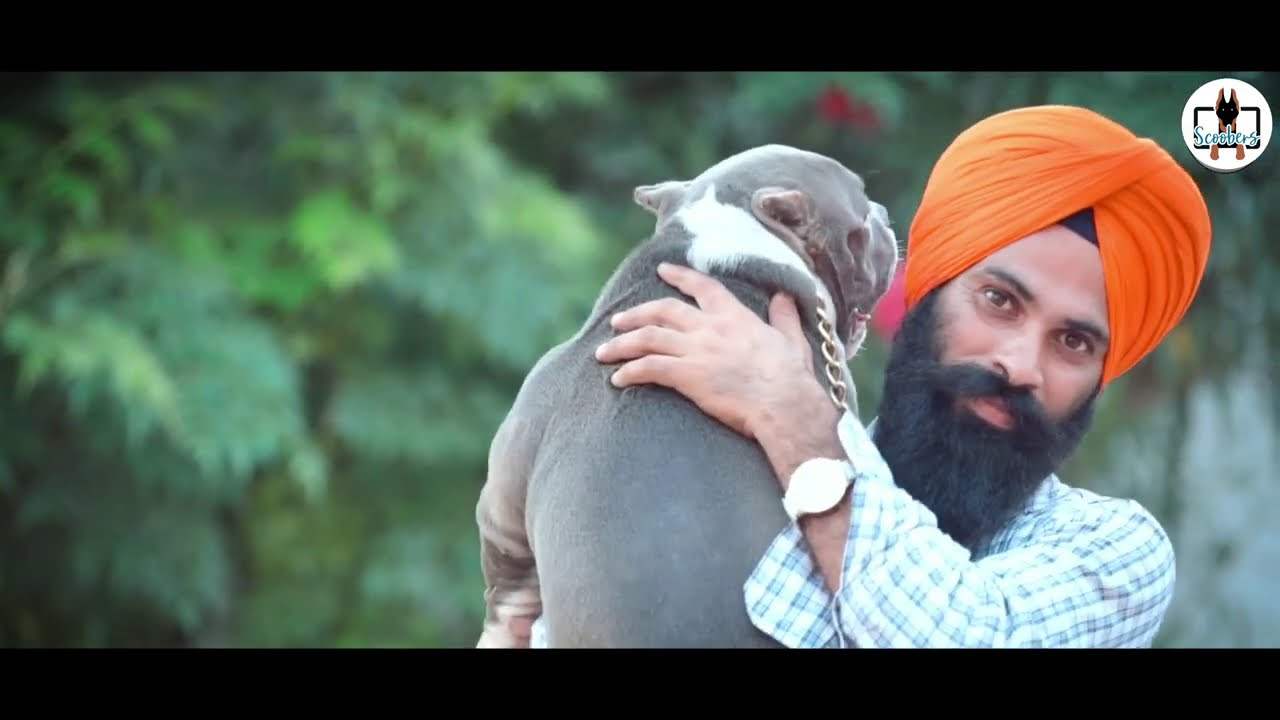 Punjabi Beats With American Bully Simrat Bully Kennel Bully Breeder Amritsar Scoobers Youtube