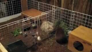 Build A Bigger Cage! Cubes & Coroplast Guinea Pig Cage **c&c Cage**