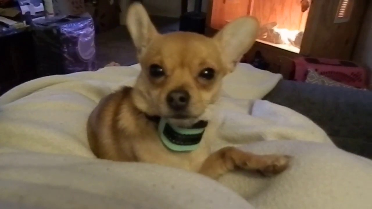 K9 Mint Small Dog No Bark Collar Review Youtube