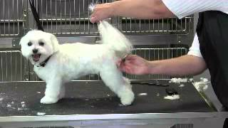 Maltese Short Puppy Trim -tail